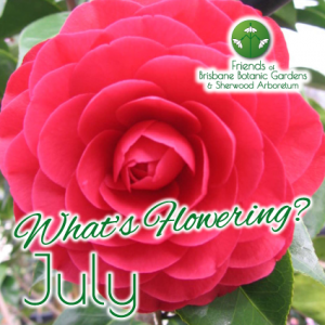 Whats Flowering in Brisbane Botanic Gardens & Sherwood Arboretum July