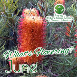 Whats Flowering in Brisbane Botanic Gardens & Sherwood Arboretum June