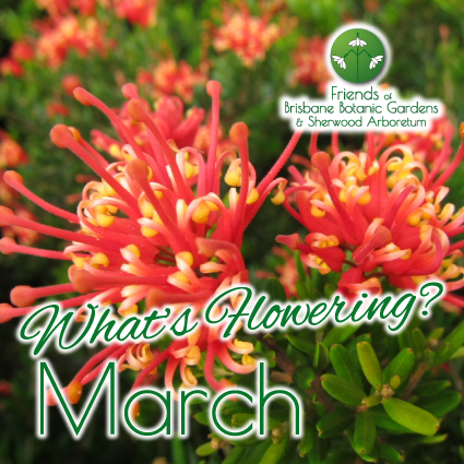Whats Flowering in Brisbane Botanic Gardens & Sherwood Arboretum March