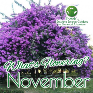 Whats Flowering in Brisbane Botanic Gardens & Sherwood Arboretum November