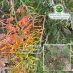 Grevillea 'Autumn Waterfall'