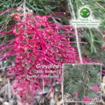 Grevillea 'Billy Bonkers'