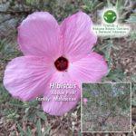 Hibiscus 'Aussie Pink'