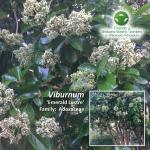 Viburnum 'Emerald Lustre'