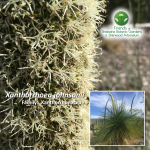 Xanthorrhoea johnsonii
