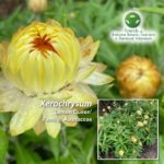 Xerochrysum 'Lemon Queen'